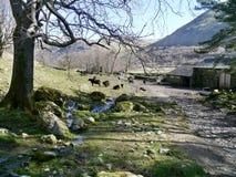 Detrás de la granja con las vacas negras que pastan Fotografía de archivo libre de regalías