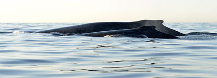 Detrás de la madre de la ballena jorobada y del cachorro del bebé Ballenas que nadan en el agua del Océano Pacífico fotografía de archivo