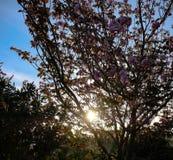 Detrás de la puesta del sol del árbol Fotografía de archivo