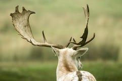 Detrás de un deer& en barbecho x27; cabeza de s Imágenes de archivo libres de regalías