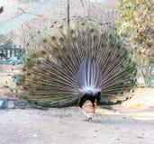 Detrás de un pavo real que hace alarde de su cola Fotos de archivo libres de regalías