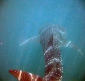 Detrás de un tiburón de ballena en el mar del Caribe Imágenes de archivo libres de regalías