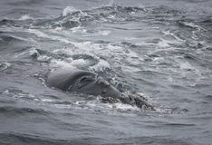 Detrás de una natación meridional de la ballena derecha cerca de Hermanus, Western Cape Viñedo famoso de Kanonkop cerca de las mo imagen de archivo