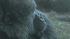 Detrás del gorila del hombro en hábitat almacen de metraje de vídeo