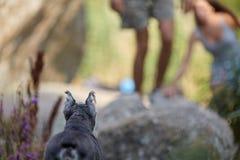 Detrás del perro hermoso del zwergschnauzer en hierba verde y flores púrpuras en barranco Mirada de sus dueños del perro imagen de archivo