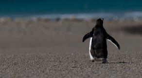 Detrás del pingüino de Gentoo que recorre Fotografía de archivo