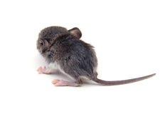 Detrás del ratón Foto de archivo libre de regalías