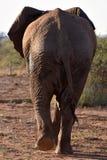 detrás elefant Imágenes de archivo libres de regalías