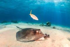 Detriti studianti di stingray sul fondo marino Immagini Stock
