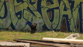 Detroit Dziki pies zbiory
