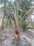 Detta är ett foto av en kokospalm en wonaderful naturlig pic royaltyfria foton