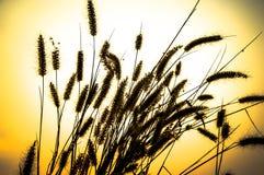 Detta är ett ogräs, torr död växt, som någon naturbakgrund Arkivfoto