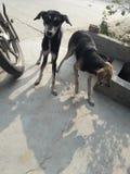 Detta är fotoet av två hundkapplöpning som står i olikt, poserar royaltyfri foto