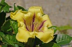 Detta är Solandramaximum, koppen av guldvinrankan, från familjsolanaceaen Arkivfoton
