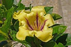 Detta är Solandramaximum, koppen av guldvinrankan, från familjsolanaceaen Arkivfoto