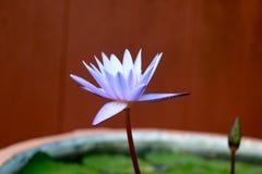 Detta härligt waterlily eller den purpurfärgade lotusblommablomman ges en komplimang av drakfärgerna av yttersidan för djupblått  Royaltyfri Fotografi