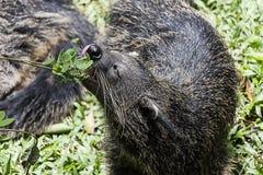 Detta köttätande djur har skarpa tänder som inte ganska är säkra vad det är arkivbild