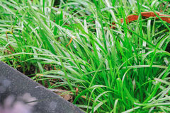 Detta nya våta gräs har bevattnats och är precis trevligt och fuktigt att skydda mot hårda strålar av solen Varje grässtrågiv royaltyfria foton