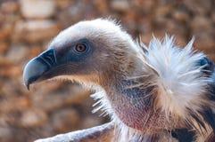 Dettagli capi dell'avvoltoio nella cattività Fotografie Stock
