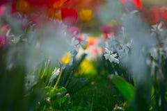 Dettagli dei narcisi e dei tulipani Fotografia Stock Libera da Diritti