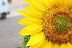 Dettagli dei petali un girasole fotografia stock