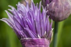 Dettagli del fiore della erba cipollina Immagini Stock Libere da Diritti
