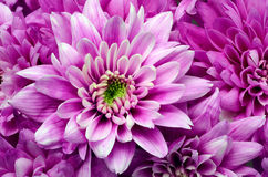 Dettagli del fiore rosa per fondo o struttura Fotografia Stock Libera da Diritti