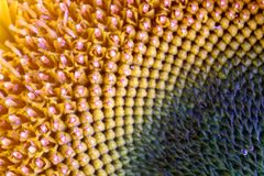 dettagli del girasole Fotografia Stock