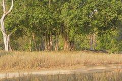 Dettagli del tronco di albero del banyan Immagine Stock