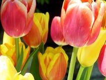 Dettagli del tulipano Immagine Stock Libera da Diritti