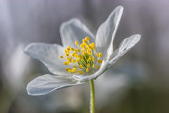Dettagli dell'anemone di legno Fotografie Stock
