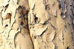 Dettagli della corteccia di albero del fremito, Namibia Fotografie Stock