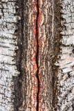 Dettagli della corteccia di betulla Immagine Stock Libera da Diritti
