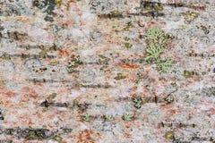 Dettagli della corteccia di betulla Immagine Stock