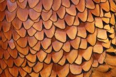 Dettagli delle piume comuni del fagiano (colchicus del Phasianus) Immagine Stock