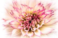 Dettagli di macrofotografia bianca e rosa del fiore fresco della dalia Alta foto di colore chiave Fotografia Stock