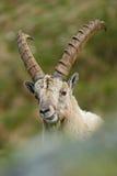 Dettagli il ritratto dello stambecco alpino del corno, capra ibex, con le rocce nel fondo, parco nazionale Gran Paradiso, Italia Fotografia Stock