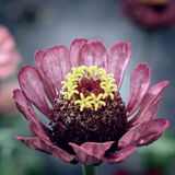 Dettagli porpora del fiore di zinnia Immagine Stock