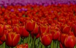 Dettagli rossi del tulipano Fotografia Stock