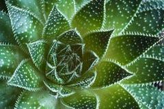 Dettagli succulenti dell'estratto della pianta di aristata dell'aloe Immagini Stock Libere da Diritti