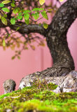 Dettaglia un piccolo albero dei bonsai Immagine Stock