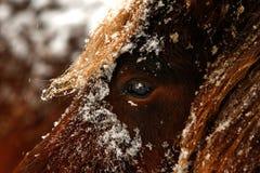 Dettagliato vicino sul ritratto di un cavallo marrone nevoso immagine stock libera da diritti