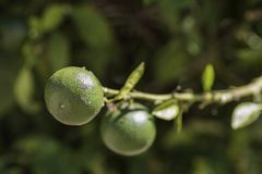 Dettaglio ad un'arancia verde immagine stock libera da diritti