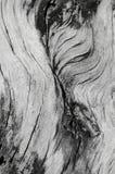 Dettaglio alto della corteccia di fine in bianco e nero dell'albero Immagine Stock