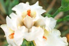 Dettaglio alto delle orchidee di fine bianca del giardino botanico Fotografia Stock Libera da Diritti
