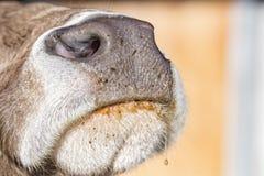 Dettaglio alto di fine bagnata del naso della mucca Fotografie Stock Libere da Diritti
