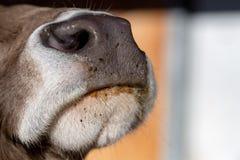 Dettaglio alto di fine bagnata del naso della mucca Fotografia Stock
