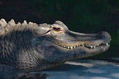 Dettaglio alto di fine dell'alligatore americano Fotografia Stock Libera da Diritti