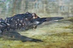 Dettaglio alto di fine dell'alligatore americano Fotografia Stock