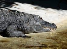 Dettaglio alto di fine dell'alligatore americano Fotografie Stock